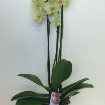 Orchid Plant €35